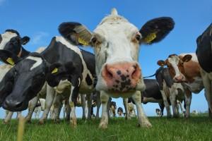 HHz-Ameland-neugierige Kühe
