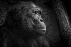 Bonobo von Sabine