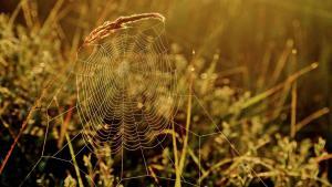 Hölzl-Nr1-Radspinnennetz im Sonnenaufgang